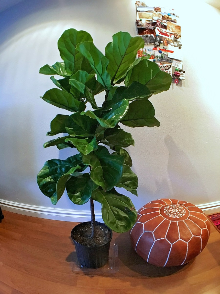 Where Can I Buy a Fiddle Leaf Fig Tree in Vancouver, BC?